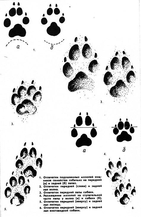 Хищники окружают… Следы волков в пригородных лесах Ульяновска След Лисы